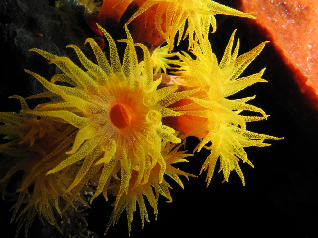 Extended_tentacles_of_orange_cup_coral